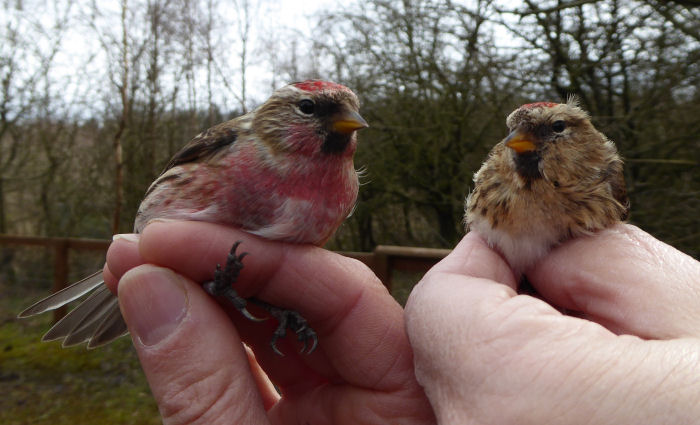 Male and female Lesser Redpoll