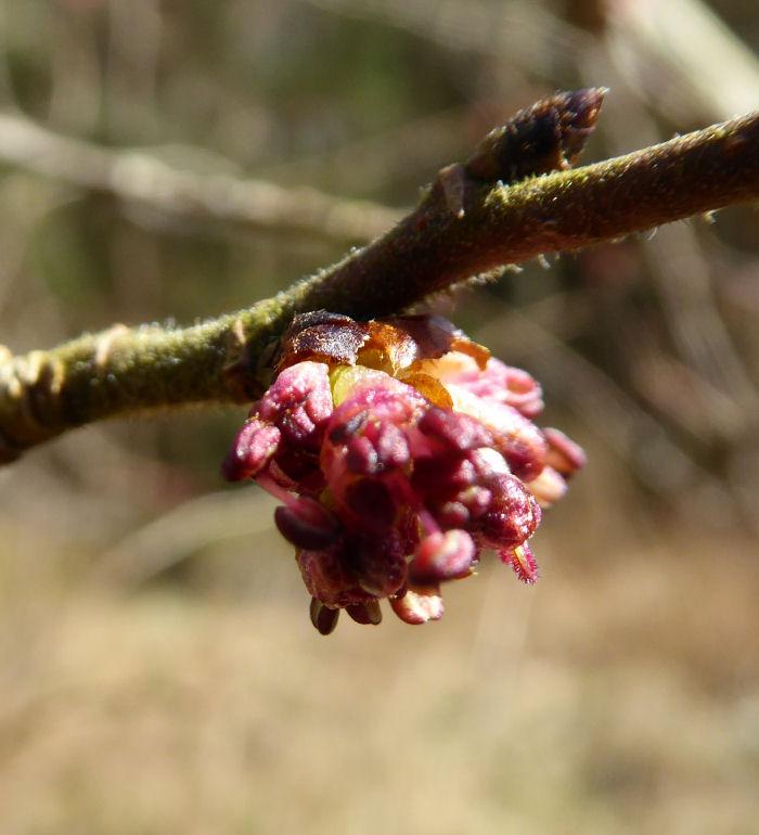 English Elm flower