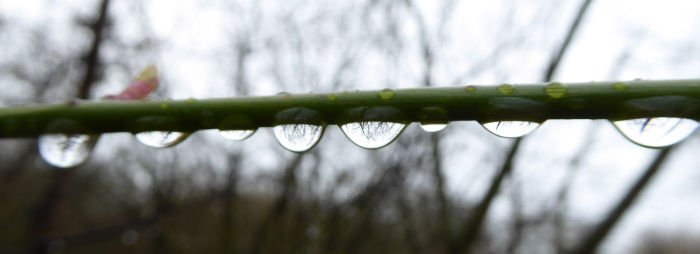 Rain drops on a Rose stem