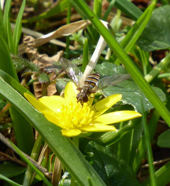 Hoverfly on Lesser Celandine