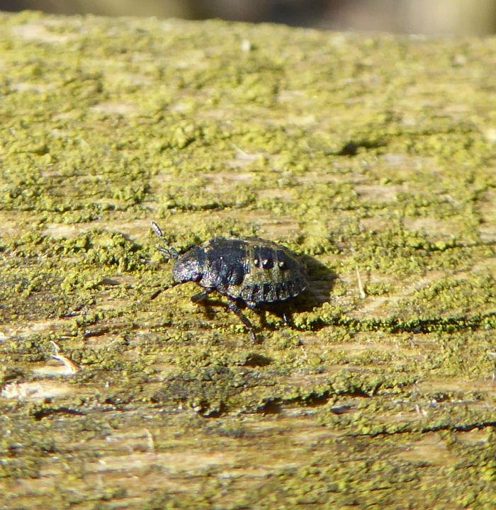 Shieldbug instar