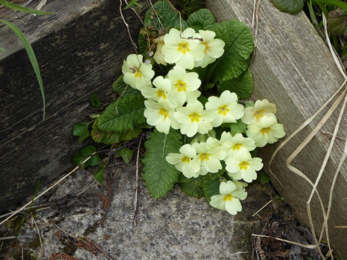 Primrose in the cement step.