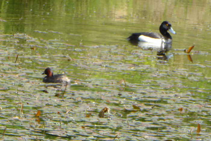 Little Grebe and Tufted Duck