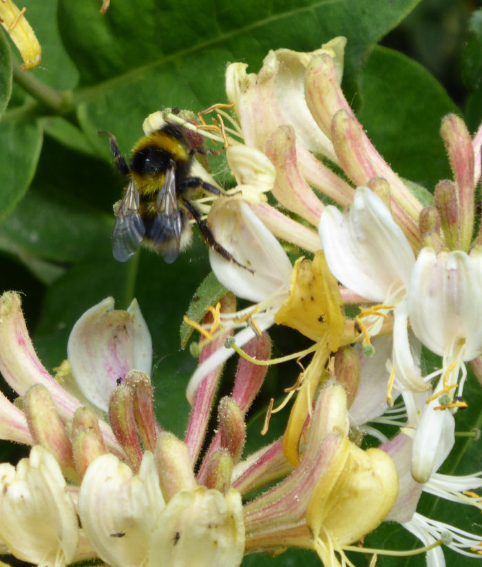 Honeysuckle, bee and insects