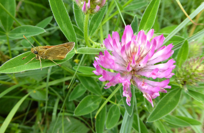 A skipper butterfly and Zig Zag Clover