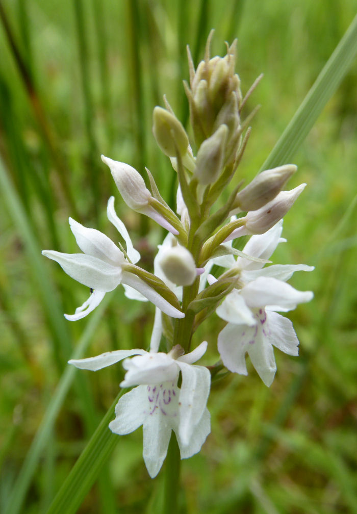 Common Spottted Orchid - white