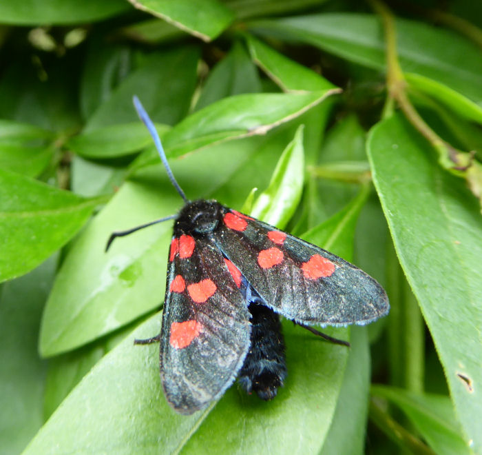 Narrow-bordered Five-spot Burnet moth