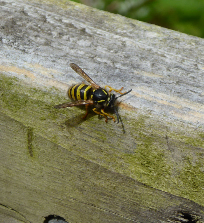 Wasp collecting wood for nest