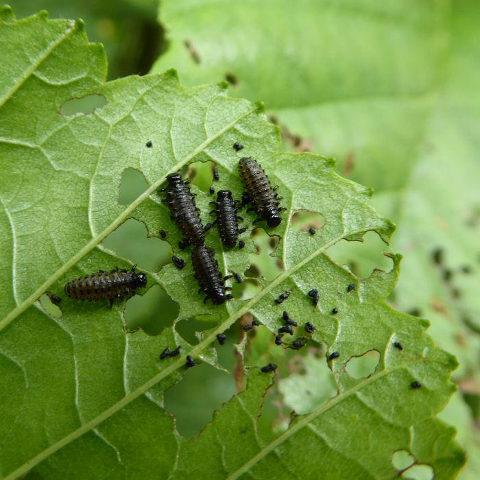 Green Leaf Beetle larvae
