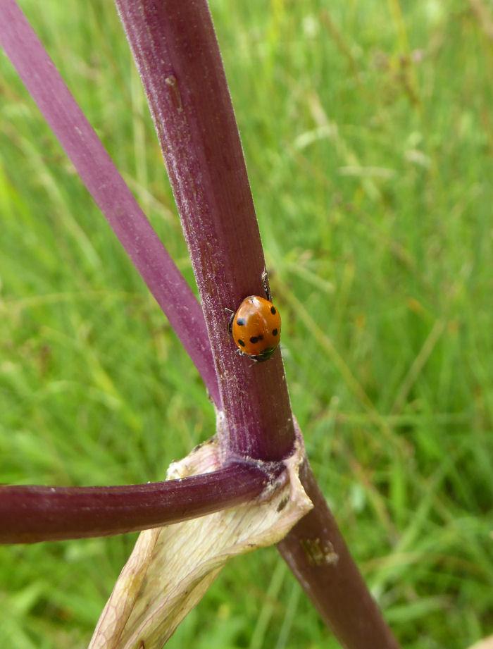 Seven Spot Ladybird on an Angelica stalk.