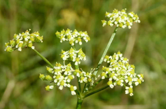 Pepper Saxifrage flowers