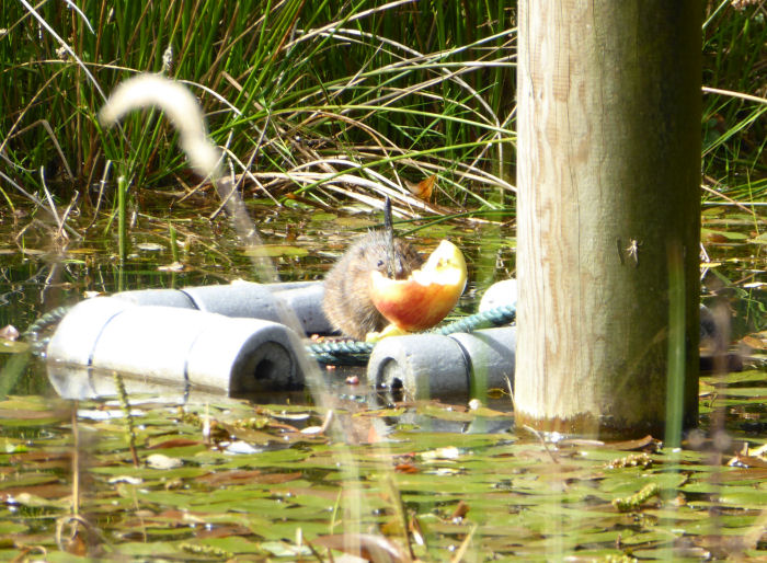Water Vole and Apple