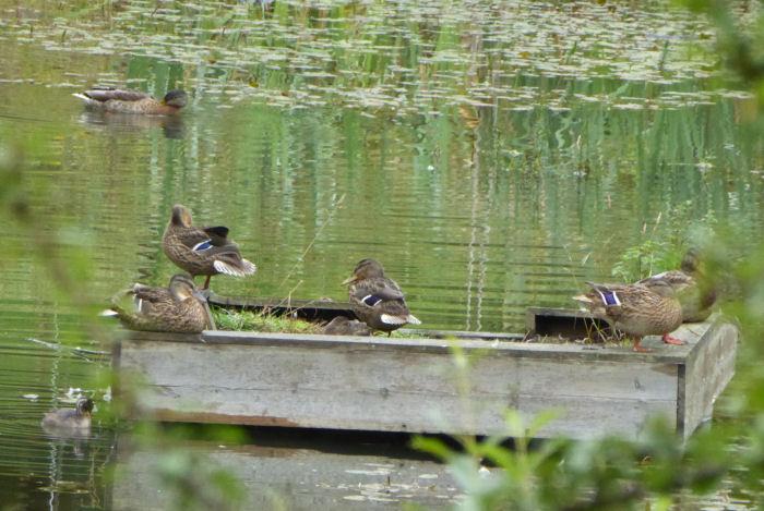 Ducks on the duck raft