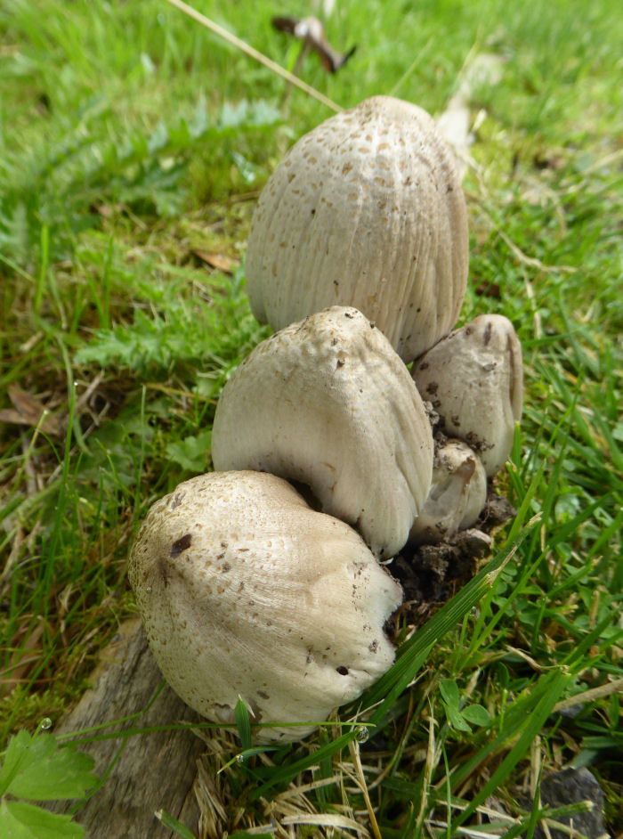An ink cap species