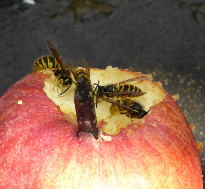 Wasps on Water Vole apple