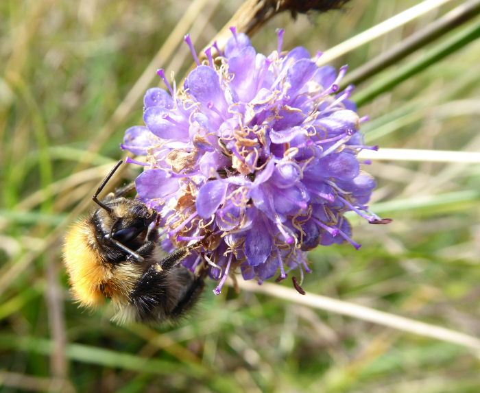 Bee on Devil's Bit Scabious.