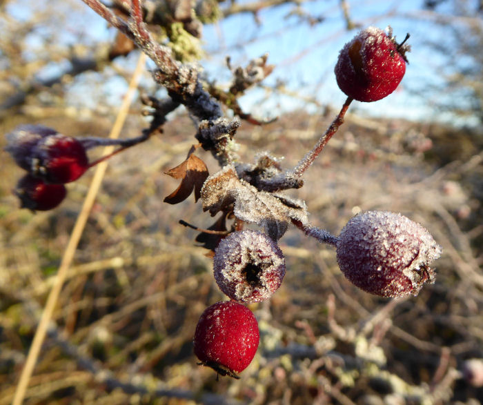 Frost melting on the berries