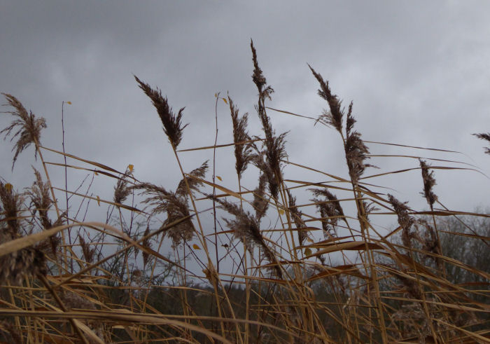 Reeds against the grey sky