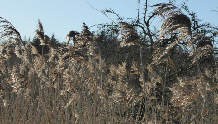 The reed bed
