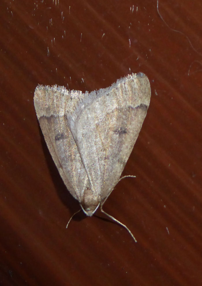 Early Moth