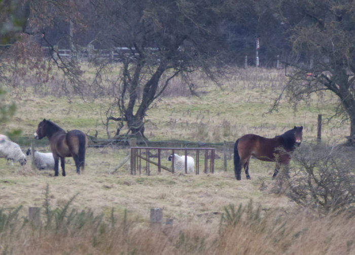 Ponies and feeder on the moor