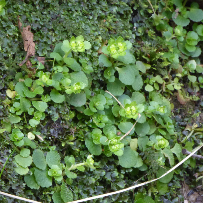 Opposite Leaved Golden Saxifrage