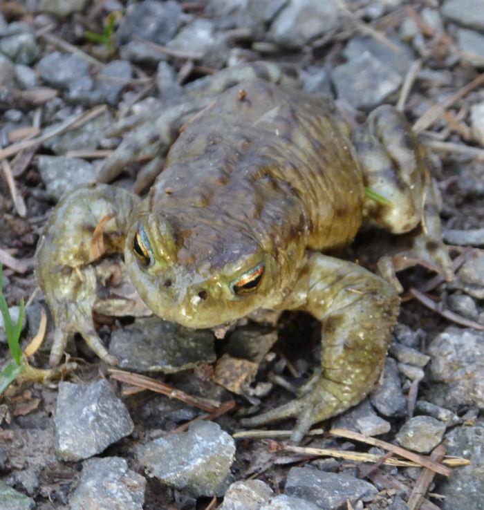 Comon Toad
