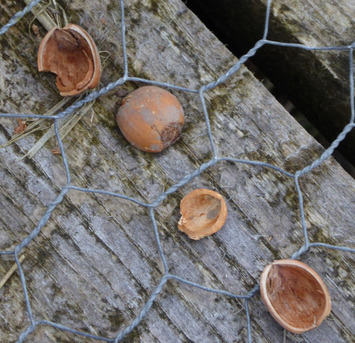 Hazel Nut shells