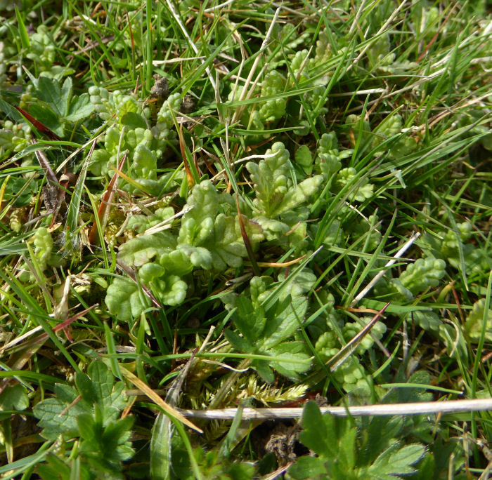 Yellow Rattle seedlings