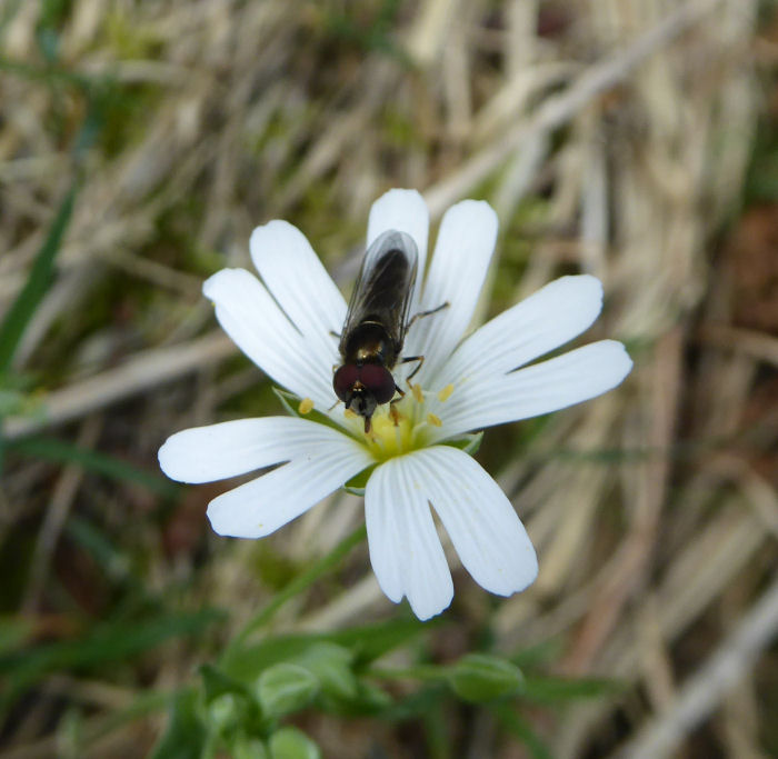 A possible hoverfly on Greater Stitchwort