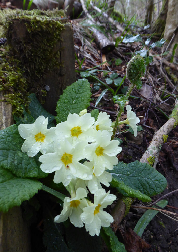 Primrose with fern frond behind it
