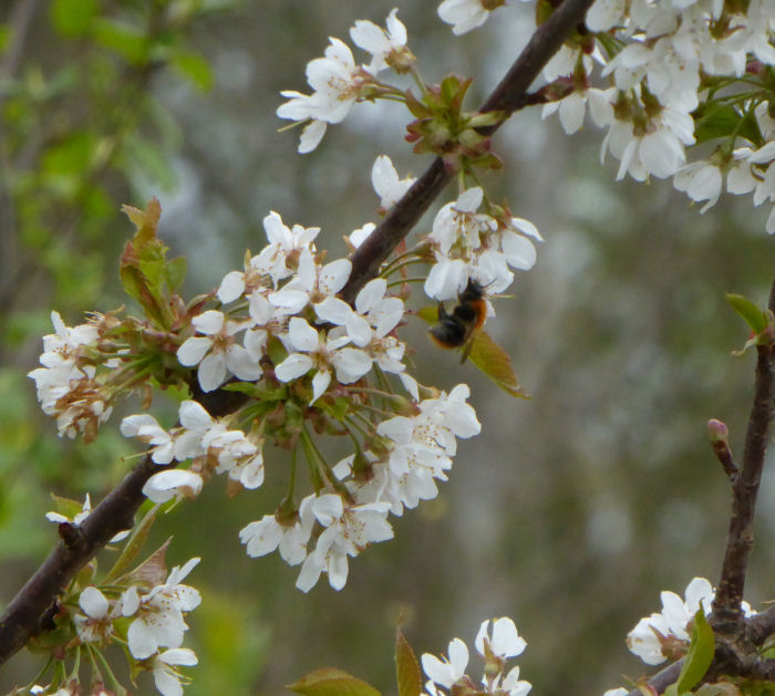 Bee on Wild Cherry