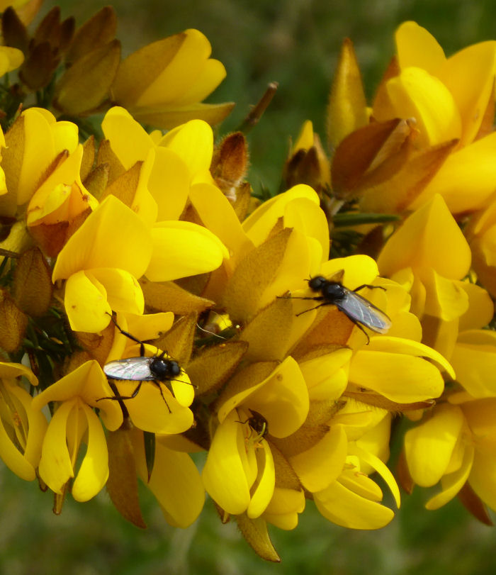 St Mark's Fly on Gorse