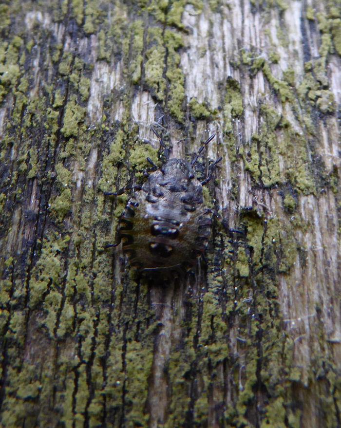 Instar shieldbug