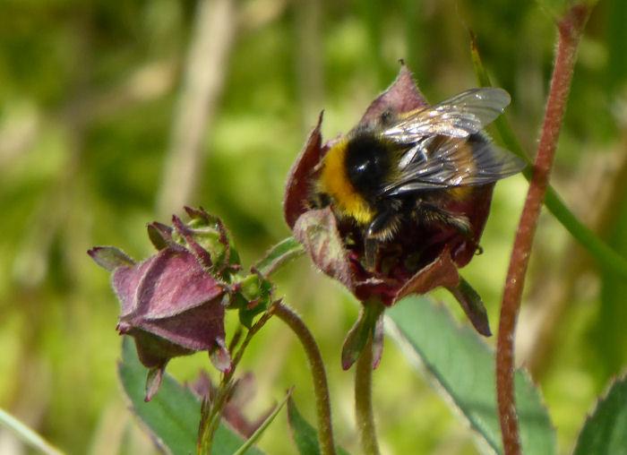 Bee in Marsh Cinquefoil
