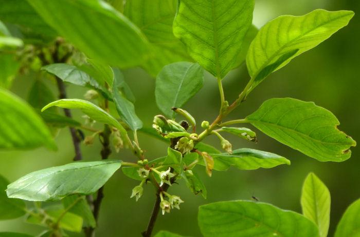 Buckthorn flowers