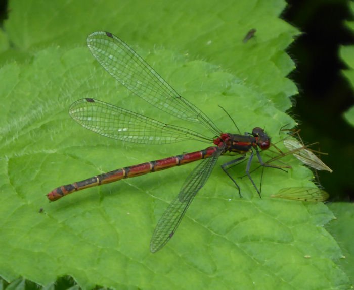 Large Red Damselfly after a meal