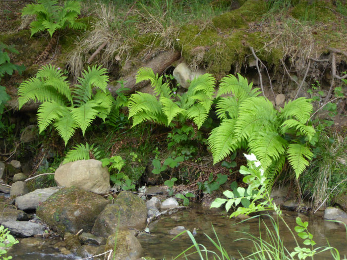 Ferns along Risedale Beck