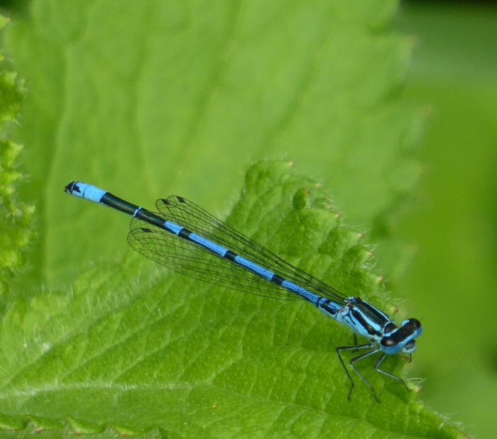 Damselfly sp