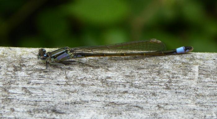 Blue-tailed Damselfly