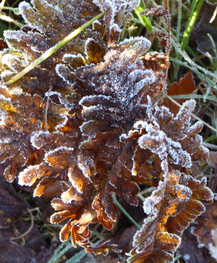 Fern covered in frost