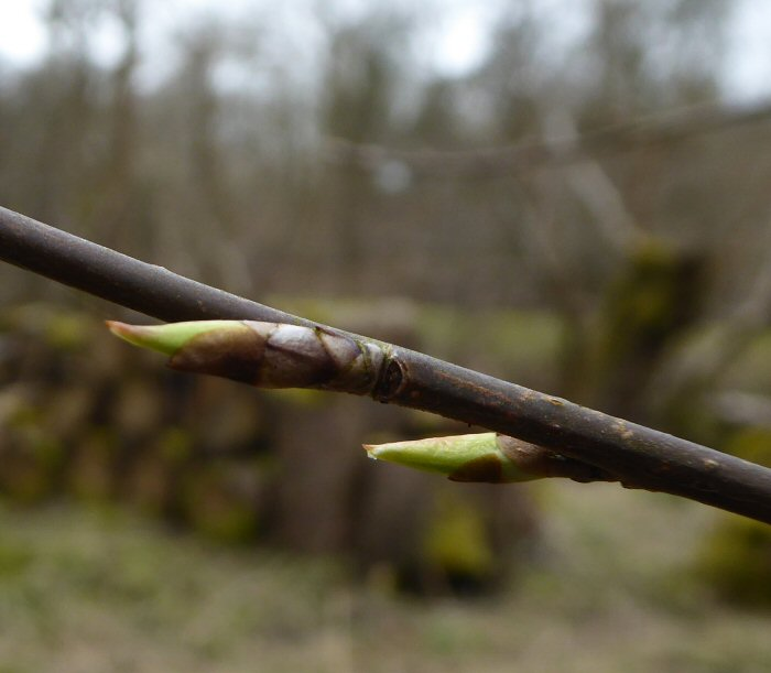 Bird Cherry buds
