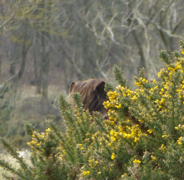 Brown Gorse?