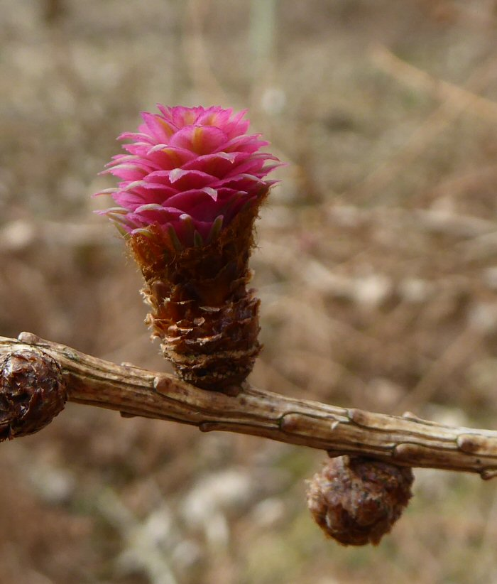 Female Larch flower