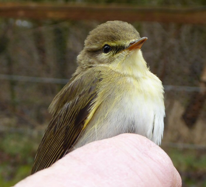 The first Willow Warbler