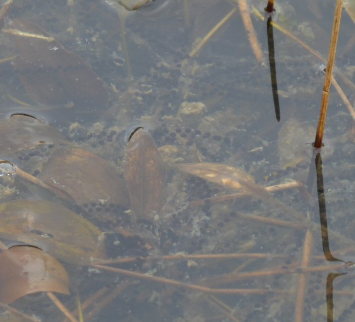 Common Toad spawn