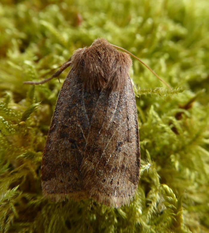 Chestnut moth