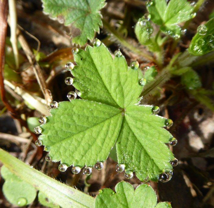 Bejewelled Wild Strawberry leaf