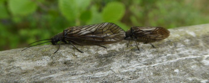 Female and male Alder Fly