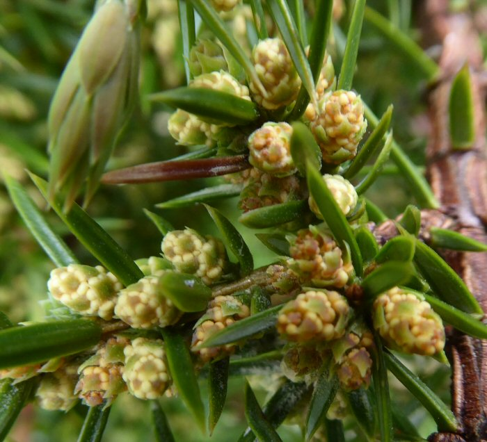 Male Juniper flowers